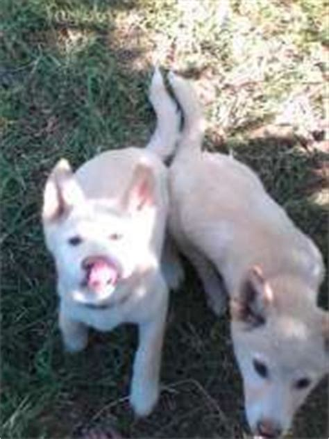 dingo puppies for sale 7 alpine dingo pups 4 females 3 males australian dingo puppies for sale narrabeen