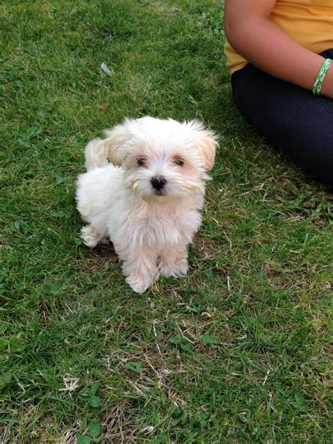 cross yorkie puppies maltese cross terrier prestatyn denbighshire pets4homes
