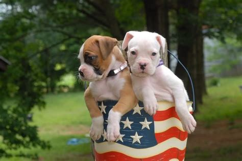 6 week boxer puppy my 6 1 2 week boxer puppies dogforum net forums and community