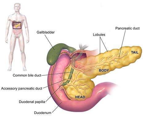 where is your pancreas located in your diagram organ pancreas location in organ anatomy in