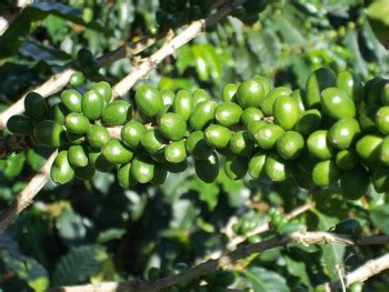 Coffee Bean Excelso excelso coffee beans of colombia buy coffee bean product on alibaba
