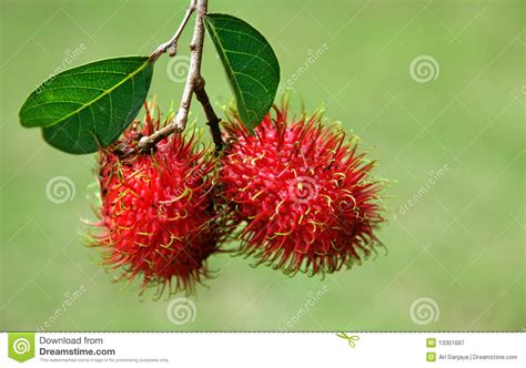 fruit similar to lychee rambutans fruit royalty free stock photography image