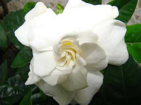 imagenes de flores gardenias flores pinturas y otras cosas guays gardenia jazmin del cabo