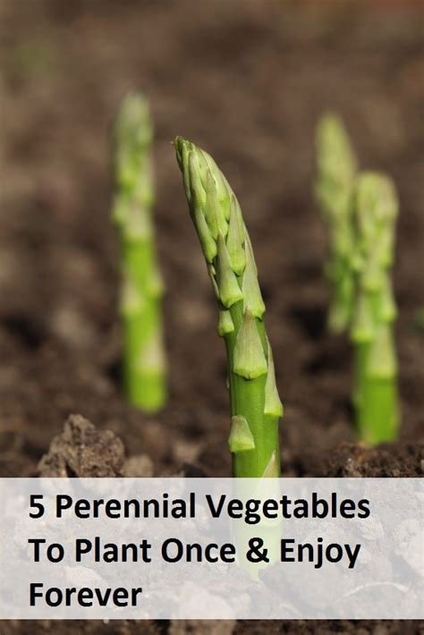 5 Perennial Veggies To Plant Once And Enjoy Forever Perennial Vegetable Garden