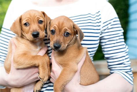 when should i neuter my puppy ask the trainer should i spay or neuter my the dogington post