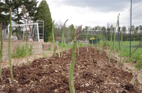 asparagus bed asparagus update english speak english