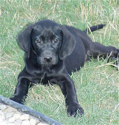 can golden retrievers be black golden retriever black golden retriever puppies