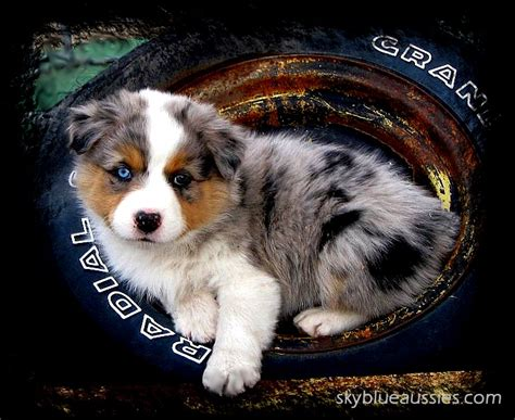 australian shepherd puppy for sale australian shepherd puppies for sale nebraska australian shepherds