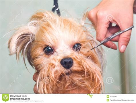 bathing a yorkie puppy grooming terrier royalty free stock images image 32109599