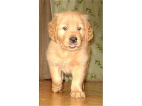 golden retriever breeder st louis golden retriever dogs for sale in illinois www proteckmachinery