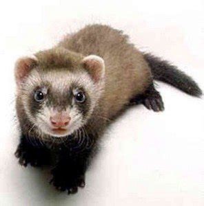 can you give a laxatives what can i give my ferret for constipation can i give my ferret