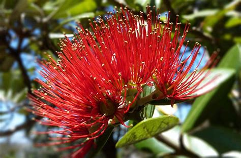 blog pohutukawa new zealand christmas tree the gift