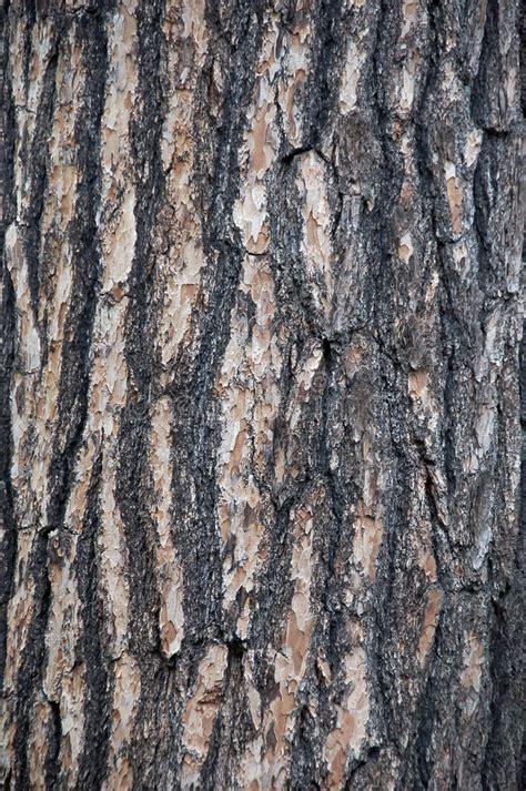 white pine bark royalty free stock photo image 10091625