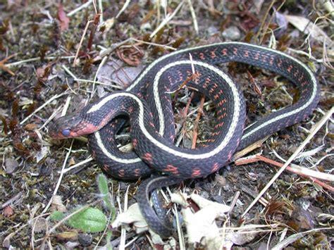 Garter Snake Oregon Spotted Garter Snake Thamnophis Sirtalis Concinnus