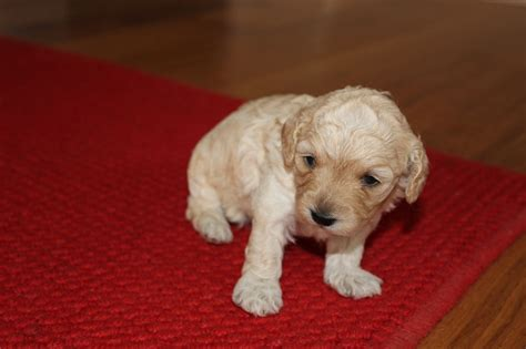 cavapoochon puppies for sale cavapoochon puppies pets4homes
