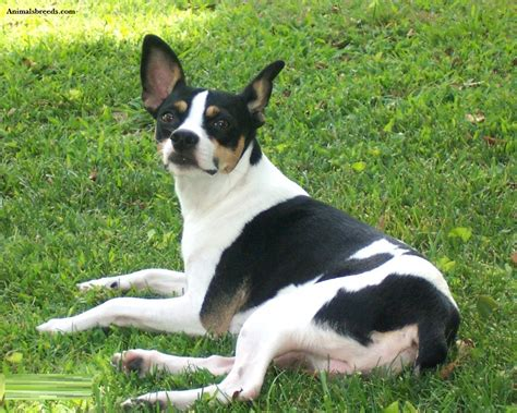 rat terrier rat terrier puppies rescue pictures information temperament characteristics