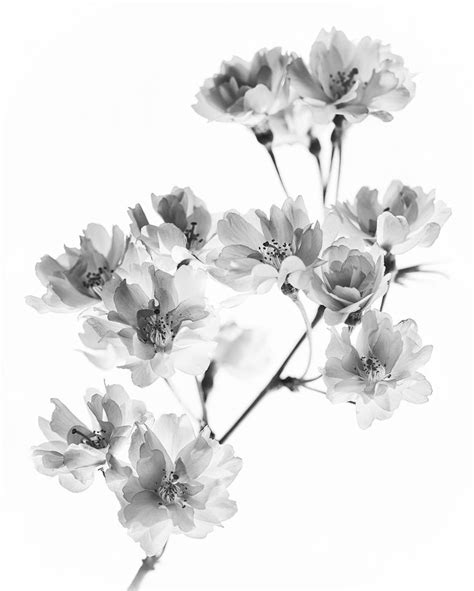 black and white cherry blossom tattoo 25 best ideas about cherry blossom tattoos on