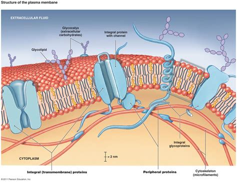 cross section of cell membrane antphy 1 study guide 2014 15 lykins instructor lykins