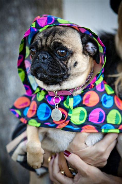 pug raincoat 484 best images about pet ideas on diy toys for dogs and diy