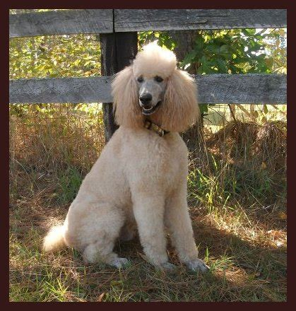 standard poodle puppies michigan standard poodle puppies michigan dogs in our photo