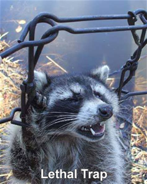 kills raccoon how to kill raccoons poison humane raccoon removal