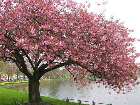 da fiore ciliegio da fiore piante da giardino coltivare ciliegio