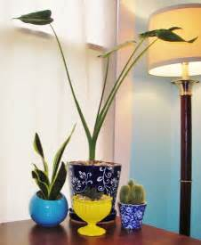 alocasia cucullata buddha s first lily chinese taro plant indoor spray paint treasuring the journey
