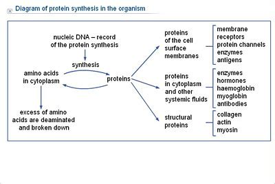 protein diagram protein synthesis diagram www pixshark images