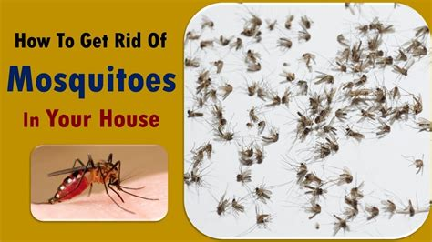 how to get rid of mosquitoes with home remedies how to how to get rid of mosquitoes in house house plan 2017