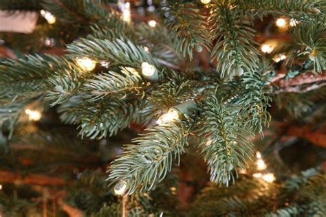 staylit christmas trees nature s own fraser fir 7 5ft artificial tree staylit 174 clear lights