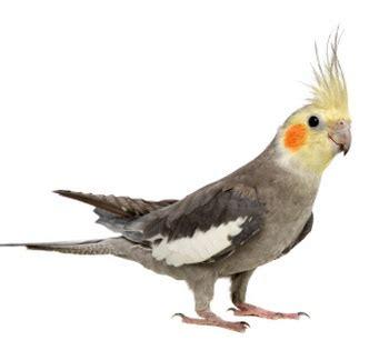 سازگاری باجریگار با سایر پرندگان
