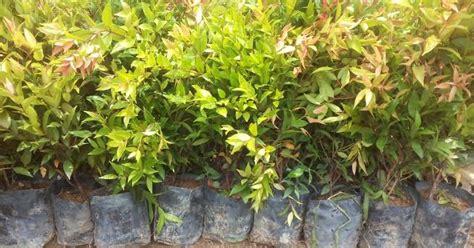 bumi hijau nursery   pokok eugenia papilose