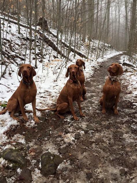 hungarian setter dog 1353 best vizsla love images on pinterest doggies