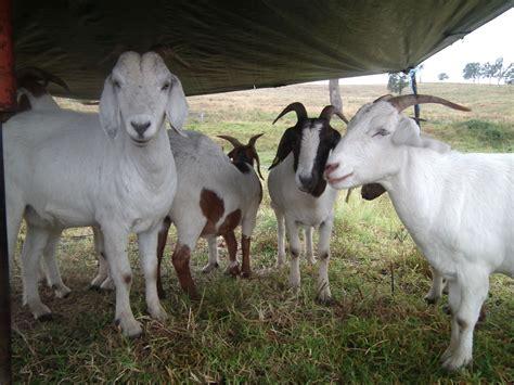 get your goat rentals goat rental australia herds for hire