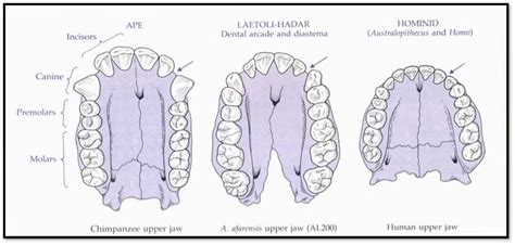 definition pattern teeth human evolution ch 5 at california state university