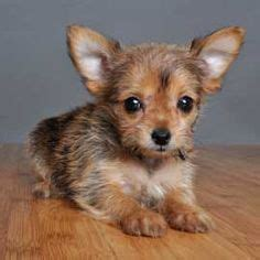 how to housebreak a yorkie in 7 days 1000 images about like my poppy on puppys chihuahuas and yorkie