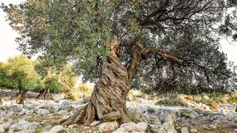 the company of trees a year in a lifetime s quest books spain s 1 000 year olive trees are sold to rich
