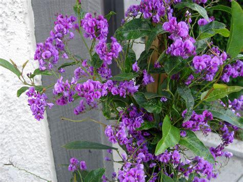 lilac climbing plant hardenbergia violacea climber cli027 a4dibble plants