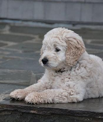 goldendoodle puppies bay area 25 best goldendoodle breeders ideas on mini goldendoodle breeders