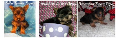 why are yorkies so expensive the bitterness of a poor quality will linger after the breeds picture