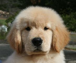 golden retriever breeders in michigan akc akc golden retriever puppies for sale in michigan photo