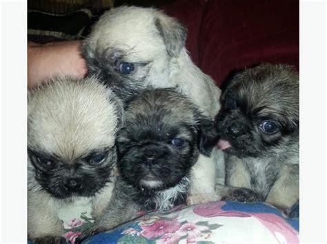 pug zu breeders adorable pug zu puppies west shore langford colwood metchosin highlands