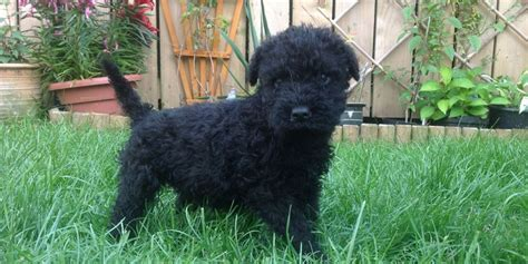 kerry blue terrier puppies kerry blue terrier puppy dogs