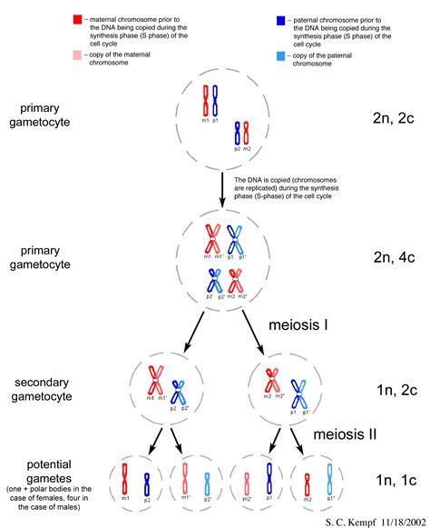 2n 6 meiosis diagram spermatogenesis and oogenesis mcat