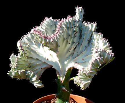 Kaktus Hias Euphorbia Lactea Ka53 ghost cactus jungle