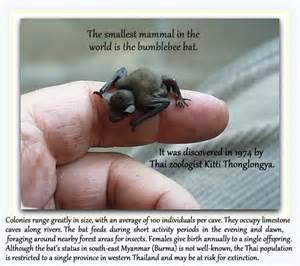 the adorable bumblebee bat