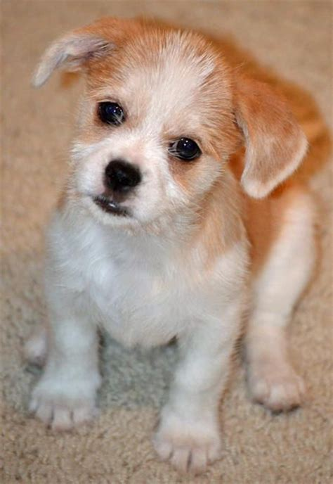 dachshund shih tzu mix the dachshund shih tzu mixed breeds the o jays puppys and