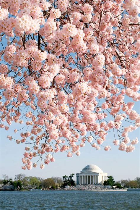Wedding Anniversary Ideas Washington Dc by National Cherry Blossom Festival Usa