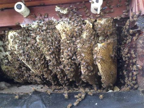 how to get rid of a beehive in your backyard honey bee removal how to get rid of bees