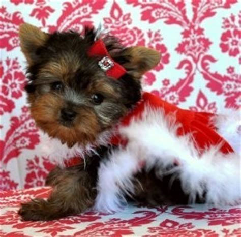 yorkie puppies huntsville al free puppies for adoption in huntsville al breeds picture